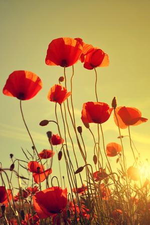 opium poppy: Field of red poppies in bright evening light Stock Photo