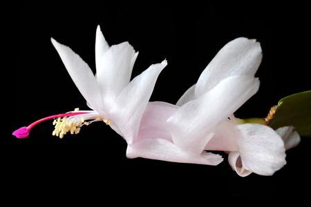 cactus species: Christmas Cactus flower Schlumbergera species isolated on black