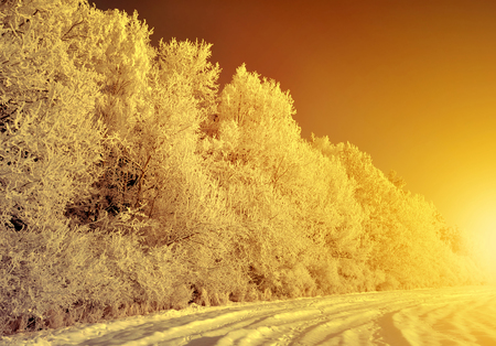 christmas trees: Beautiful winter landscape at sunset