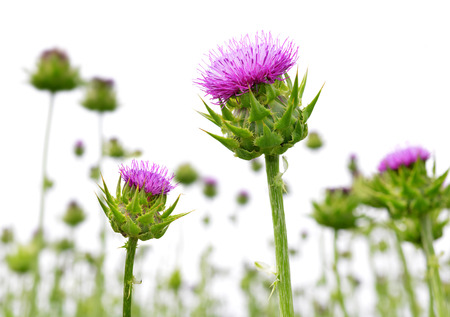 Field with Silybum marianum Milk Thistle , Medical plants.