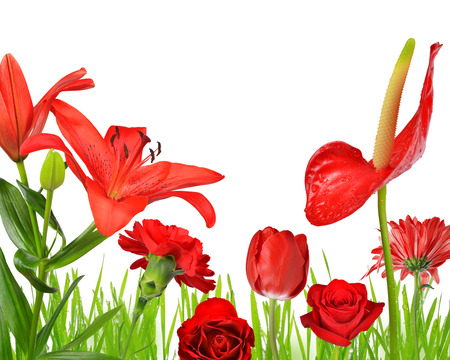 day lily: Red flowers isolated on white background