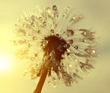 gotas de agua: Flor de diente de león cubierto de rocio al amanecer cerca. Orígenes naturales. Foto de archivo