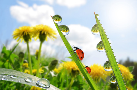 Fresh green grass with dew drops and ladybugs closeup. Nature Background Zdjęcie Seryjne