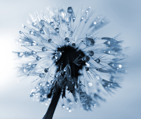 dewy: Dewy dandelion flower close up Stock Photo