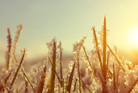 meadow grass: Frozen grass at sunrise close up. Nature background.