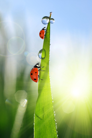 weather: Fresh green grass with dew drops and ladybirds closeup