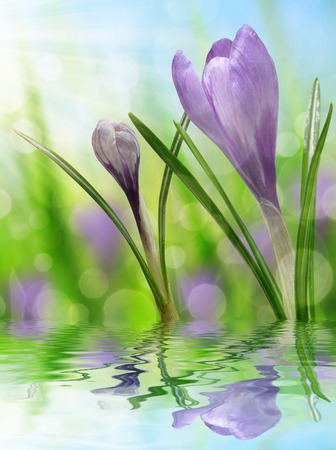 Spring flower Crocus on natural blurred background Stock Photo