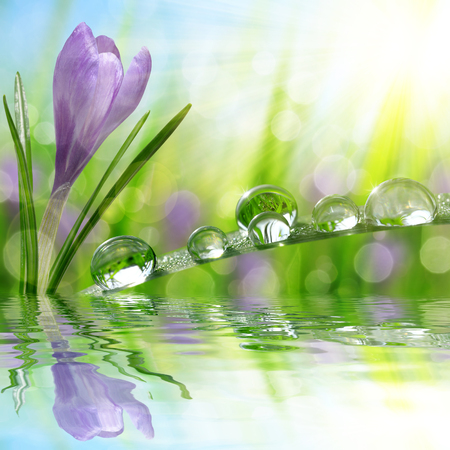 spring water: Spring flower Crocus and green grass with water drops. Nature background.