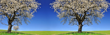 Blooming cherry trees on meadow. Spring landscape.