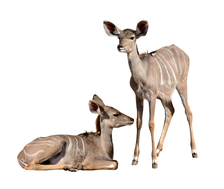 greater: Young Greater Kudu isolated on a white background