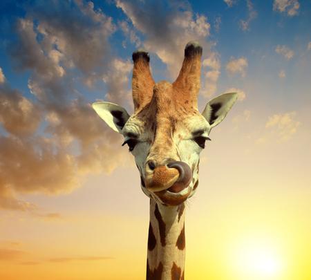 youngly: Giraffe at sunset Stock Photo