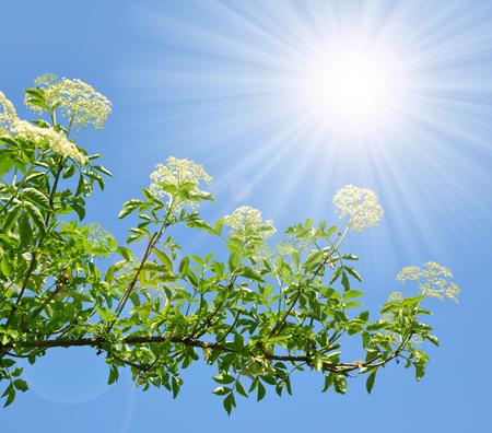 elder tree: Blooming elderflower Sambucus nigra on the background sunny sky