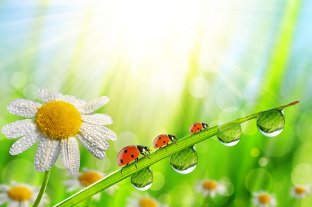 Spring flower Daisy and ladybugs on green grass with dew drops. Nature background.