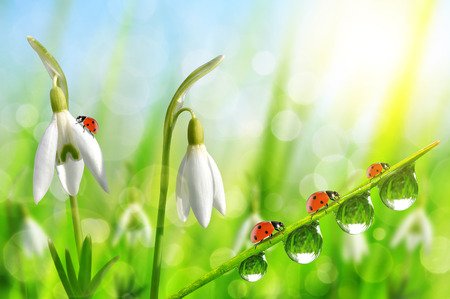 dewy: Snowdrop flowers with dewy grass and ladybugs on natural bokeh background. Spring season. Stock Photo