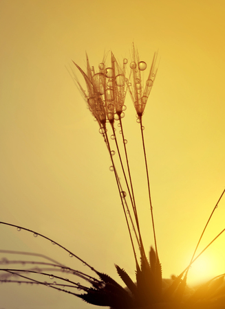 dewy: Dewy dandelion flower at sunrise close up. Natural backgrounds.