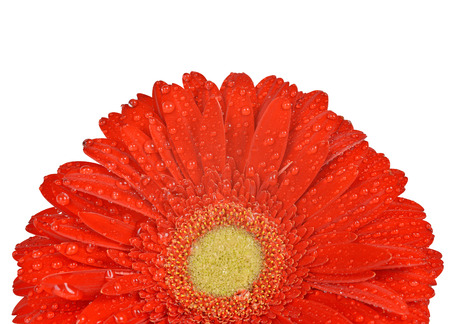 dewy: Dewy gerbera flower isolated on white background