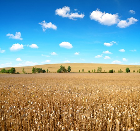 opiate: Dry poppy field before harvest. Summer landscape. Stock Photo
