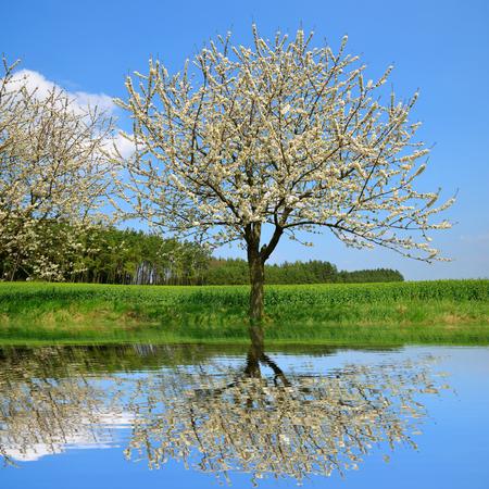 flowering field: Flowering tree on meadow. Spring season.
