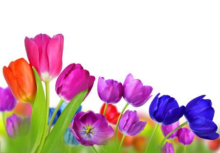 tulipan: Kolorowe tulipanów samodzielnie na biaÅ'ym tle Zdjęcie Seryjne