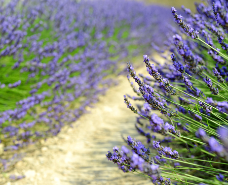 scented: Lavender flower blooming scented fields in Provence