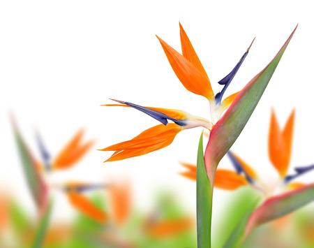 bloom bird of paradise: Strelitzia reginae, bird of paradise flower  isolated on white background