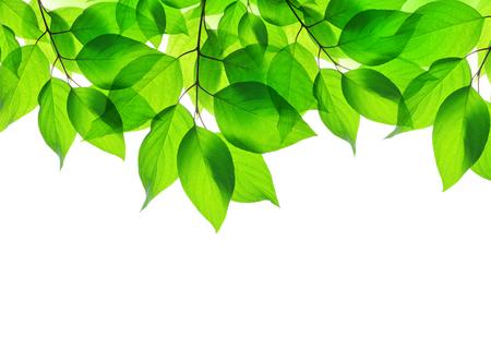 Spring leaves on white background