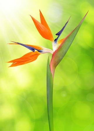 bloom bird of paradise: Strelitzia reginae, bird of paradise flower on green natural background.