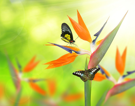 bloom bird of paradise: Strelitzia reginae, bird of paradise flower with butterflies on green natural background