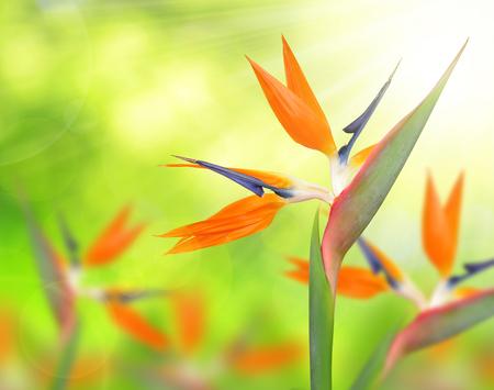 south african birds: Strelitzia reginae, bird of paradise flower on green natural background.