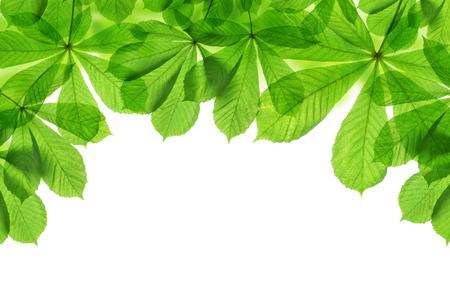 hojas de arbol: Primavera las hojas verdes de castaño aislados en el fondo blanco