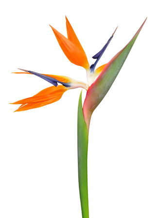 Strelitzia reginae, bird of paradise flower isolated on white background