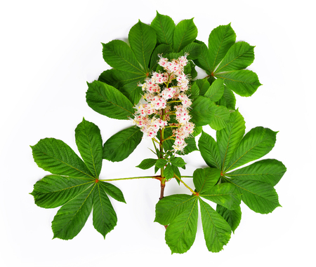 Flowering branch of chestnut tree isolated on white background Stock Photo
