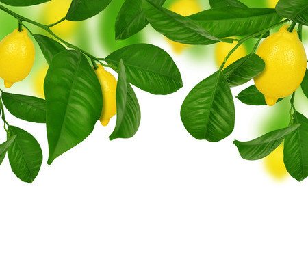 Lemons hanging on a lemon tree on white background. Stock Photo