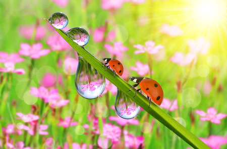 nature green: Fresh green grass with dew drops and ladybugs closeup. Nature Background.