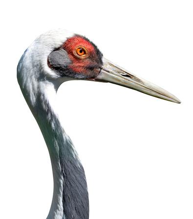 nautral: The White-naped crane Grus vipio isolated on white background.