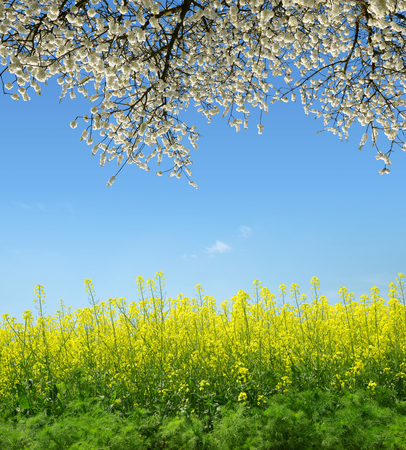 Spring landscape with rapeseed field and flowering tree.