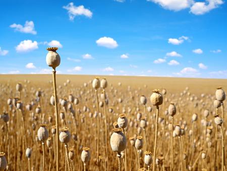 opiate: Dry poppy field before harvest.