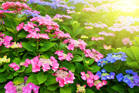 flowers garden: Pink Hydrangea flower (Hydrangea macrophylla) in a garden Stock Photo