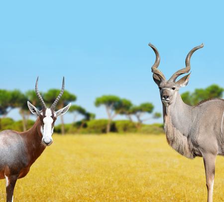 greater: Blesbok antelopes and Greater Kudu in savannah.