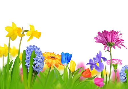 spring: Colorful spring flowers isolated on white background. Stock Photo