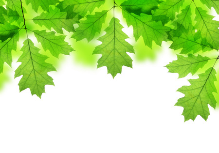 roble arbol: Spring leaves of oak tree isolated on white background Foto de archivo