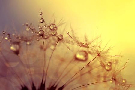 dewy: Dewy dandelion flower at sunrise close up Stock Photo