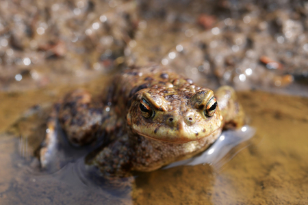 bufo toad: Toad, Bufo bufo, in a pond