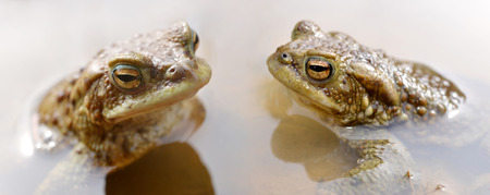 bufo toad: Frogs in pond. Toad ,Bufo Bufo.