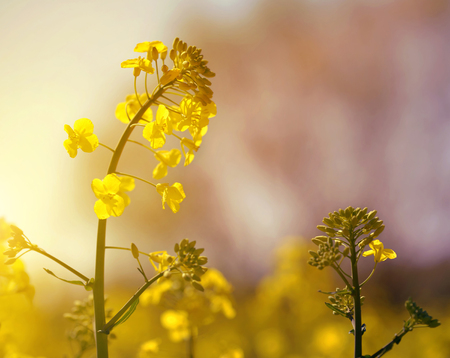 brassica: Flower of a rapeseed ( Brassica napus ) at sunset