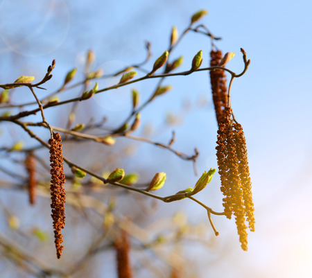 catkins: Catkins on branch close up. Spring season. Stock Photo