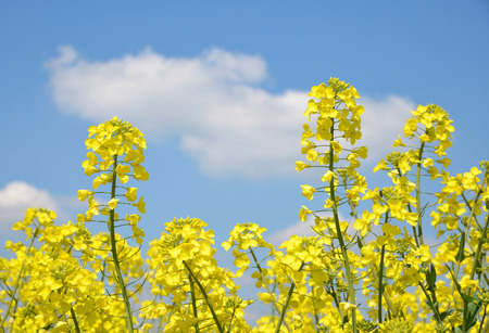 napus: Flower of a rapeseed ( Brassica napus ) on blue sky Stock Photo
