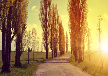 poplars: Asphalted road and avenue of poplars in the sunset