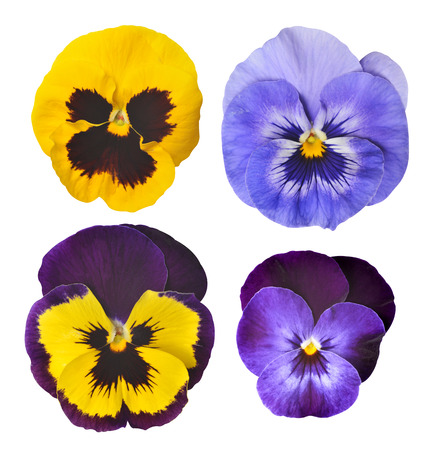 Pansies flower isolated on white background