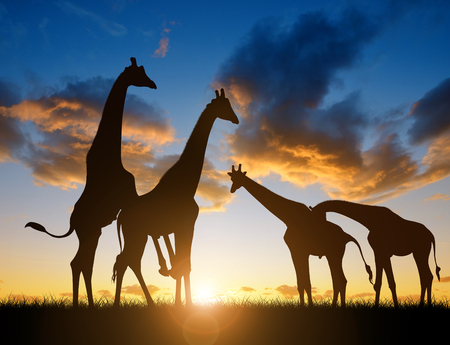 mating colors: Herd of giraffes at sunset.